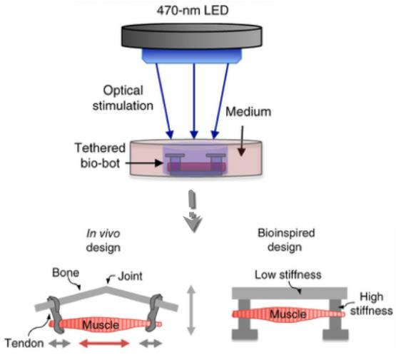 En un nuevo diseño, los investigadores trabajaron conjuntamente con expertos en optogenética del MIT para generar genéticamente una célula músculo-esquelética que respondiera a la luz y que a través de pulsos de luz azul fuera estimulada para contraerse.