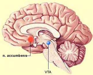 Estimulación eléctrica del centro de placer en el cerebro reduce el dolor crónico